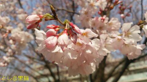 桜が八分咲き