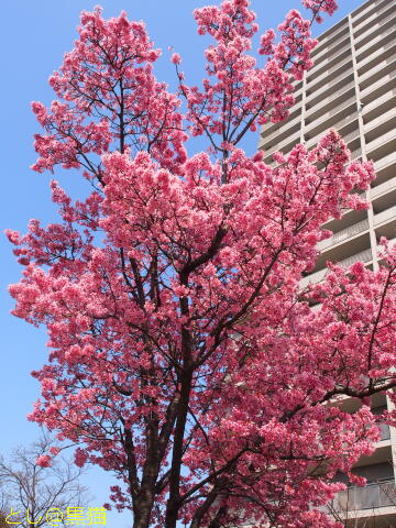 早咲き桜が見ごろです ≪その2≫